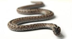 Mysteriozní hadí jed | Zdraví-INFO